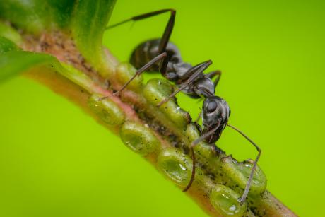 ant drinking nectar