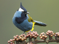 Warmer temps push tropical birds up and off mountains