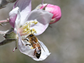 apple blossom bee