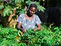 Cassava breeder