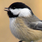 Warming temperatures push chickadees northward