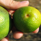 BTI researcher on a mission to save citrus