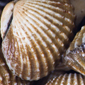 Clam fossils divulge secrets of ecologic stability