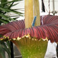 corpse plant