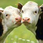 New project will preserve cow diversity for future