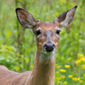 Deer proliferation disrupts a forest's natural growth