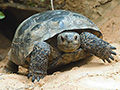 Gopher tortoise