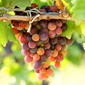 Mechanical grape thinning pays off for growers