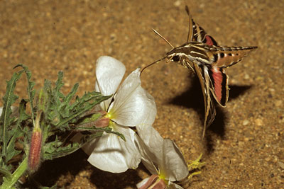 Study hawkmoths use humidity to sense nectar cornell chronicle mightylinksfo