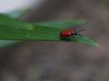 Lily leaf beetle adult