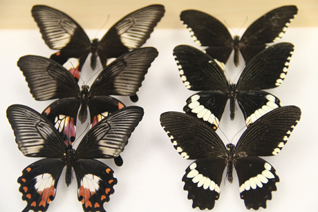 mimetic and non-mimetic butterflies