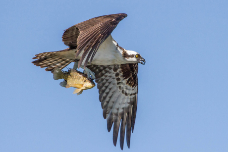 An osprey with a fresh catch