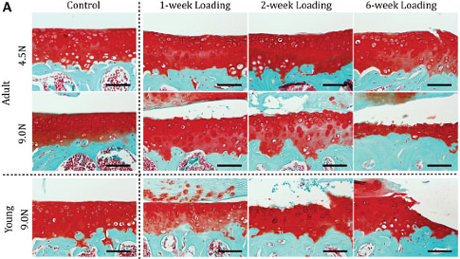 Histologic images show loading-induced formation of osteophytes