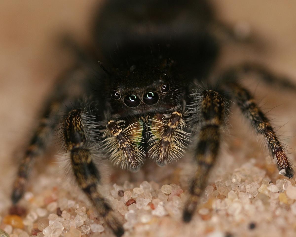 jumping spider u2039u203a