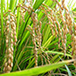 Study to focus on rice genes, yield and climate