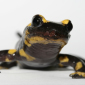Newly found fungus is threat to salamanders worldwide
