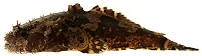 three-spined toadfish