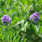 New alfalfa variety resists ravenous local pest
