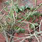 New pest-fighting, yield-boosting alfalfa to help farmers