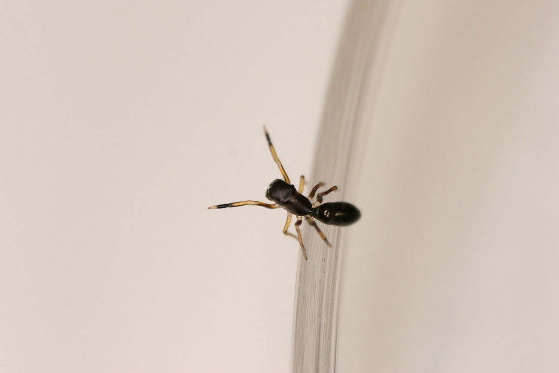 To avoid being eaten, the ant-mimicking jumping spider pretends to be an ant