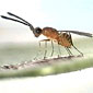 female fairyfly wasp