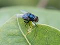 housefly on leaf