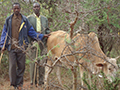 herders with cows