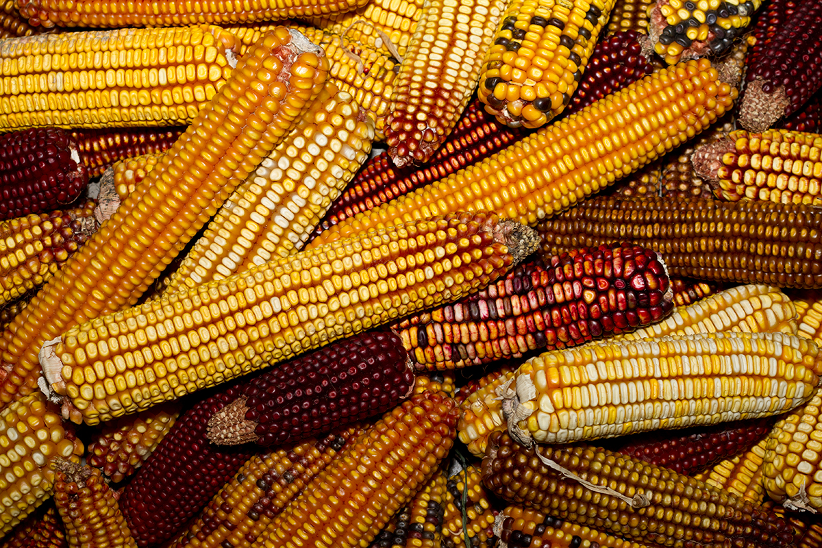 Maize genome dark matter discovery a boon for breeders cornell maize pile voltagebd Image collections