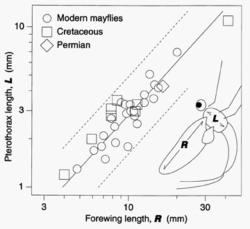 Size measurements of mayfly wings