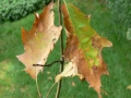dying leaves as a result of oak wilt disease