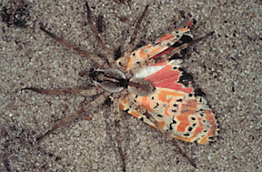 rattlebox plant make Utetheisa ornatrix moths distasteful to spider