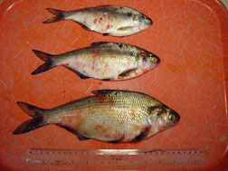 Cornell researchers confirm that deadly fish virus has for Septicemia in fish