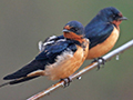 Barn swallows on wire