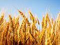 $18.5M grant aims to boost staple crop breeding worldwide