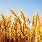 $18.5M grant aims to boost staple crop breeding worldwide