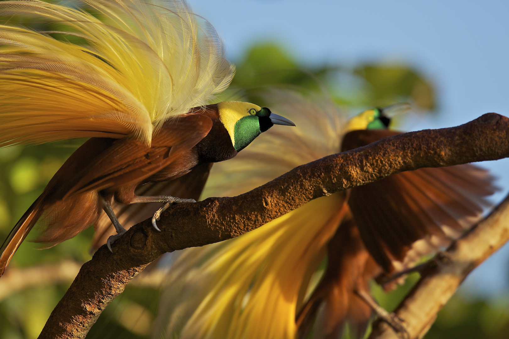 Canopy Singer Bird