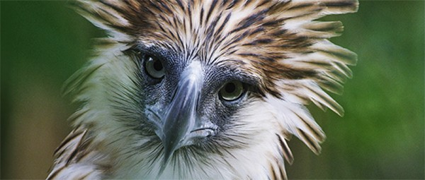 documentary highlights effort to save philippine eagle cornell