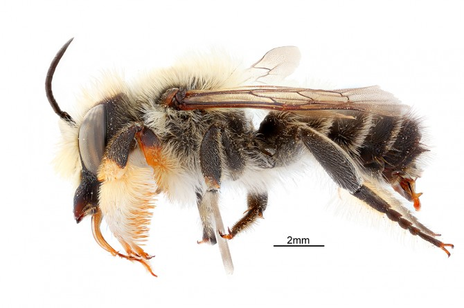 Study challenges widely held assumption of bee evolution
