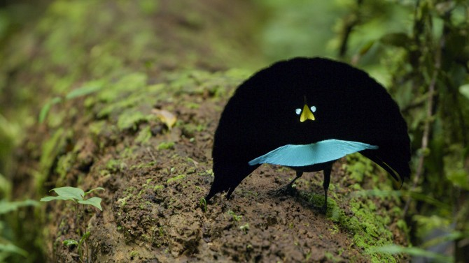The Vogelkop superb bird-of-paradise
