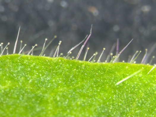 Trichomes on the surface of various Solanaceae plants