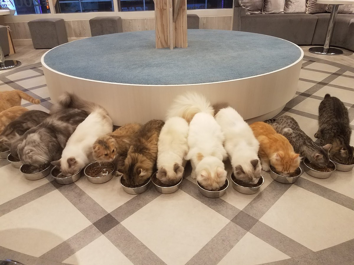 Feeding time at a cat cafe in Japan.