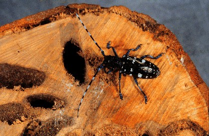 Clearly in the trees asian longhorned beetle was specially