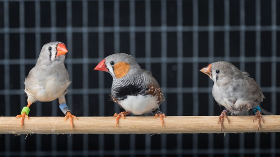 Psychologists solve mystery of songbird learning | Cornell Chronicle
