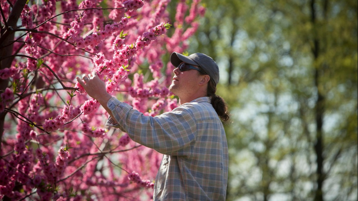 University File Photo Eric Shatt, farm manager at Cornell Orchards, inspects the flowering buds on apple trees in late April 2013.