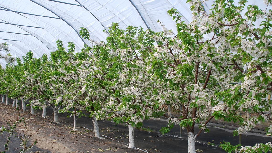 Nys Cherry Growers Could Harvest Sweet Profits With Tall