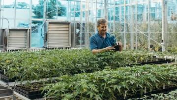 Professor Larry Smart, associate director at Cornell AgriTech, examines hemp in a greenhouse