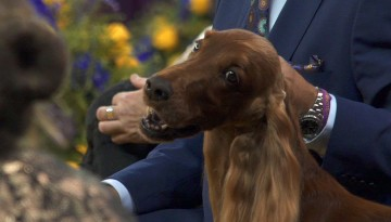 Westminster dog show competitor