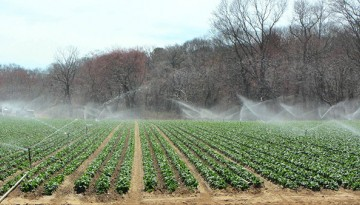 sprays of water irrigate leafy greens overhead