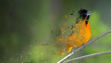 an artist rendering of a Baltimore oriole disappearing