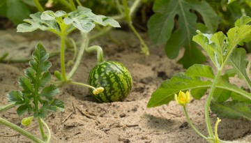 watermelon in sandy soil